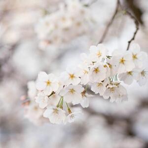 一树梨花白