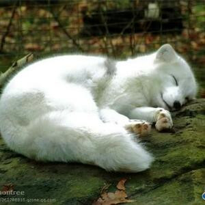九尾雪妖狐
