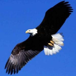 飞翔的雄鹰
